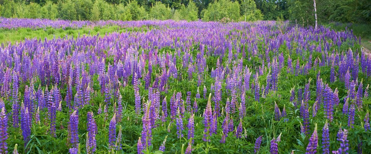 field with purple lupines